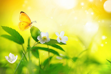 Wall Mural - Beautiful spring floral natural scenery with white forest flowers anemones in fresh grass and yellow butterfly, soft focus, sunrise or sunset in orange sunlight in nature, macro.