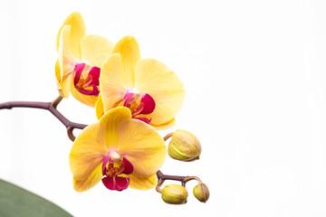 Orchidea phalaenopsis gialla