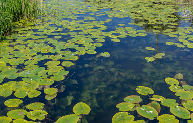 Papiers peints Nénuphars Water Lilies on clear water