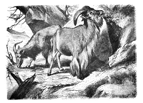 Otis tragelaphus (mens sheep) Old Antique illustration from Brockhaus Konversations-Lexikon 1908