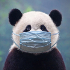 Giant panda bear wearing a face mask