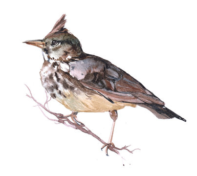 Watercolor Lark  bird animal on a white background illustration