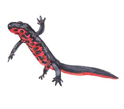 Watercolor triton animal on a white background illustration