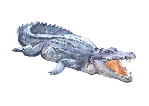 Watercolor crocodile  animal on a white background illustration