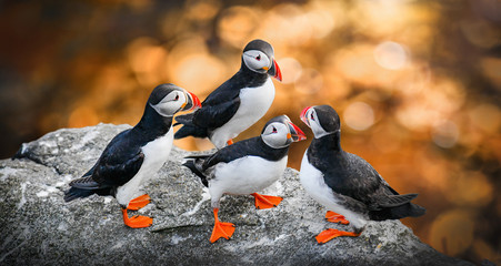 Poster de jardin Oiseau Atlantic Puffins bird or common Puffin in sunset gold background. Fratercula arctica. Norway most popular birds.