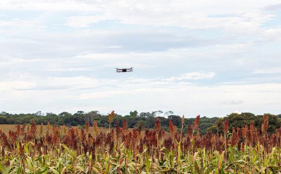 Drone pequeno sobrevoando uma plantação de sorgo.