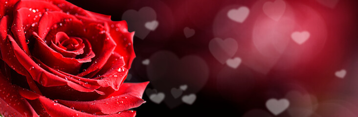 Keuken foto achterwand Roses Red rose flower on white background. Valentines day wide roses banner with love hearts. Copy space for text.