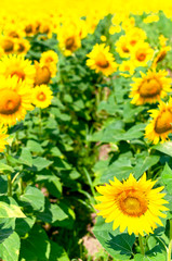 Autocollant pour porte Jaune Sunflower natural background. Beautiful landscape with yellow sunflowers against the blue sky. Sunflower field, agriculture, harvest concept. Sunflower seeds, vegetable oil