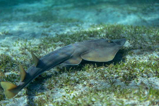 Guitarfish (Glaucostegus halavi) swimming underwater in sea.