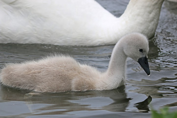 Foto op Aluminium Zwaan Swan and Cygnet swimming in a lake