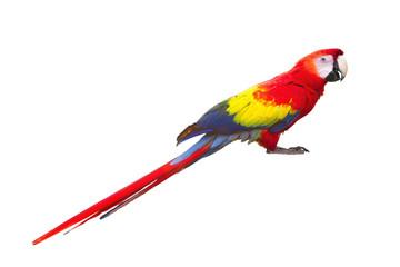 red macaw bird isolated on white background freigestellt  Ara ambigua Wildlife scene Fotomurales
