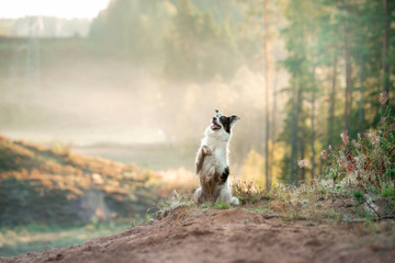 dog in the fog. Pet on a walk in nature. Border Collie in a field, forest