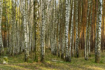 Birkenwald im Frühling