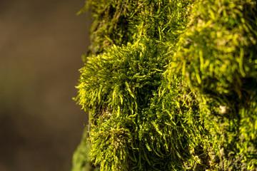 Grünes Moos mit braunem Hintergrund im Close-Up