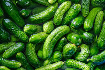 Preparations for pickling cucumbers in the village