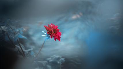 Foto op Plexiglas Gerbera Purple Dahlia Flower with blue cold background