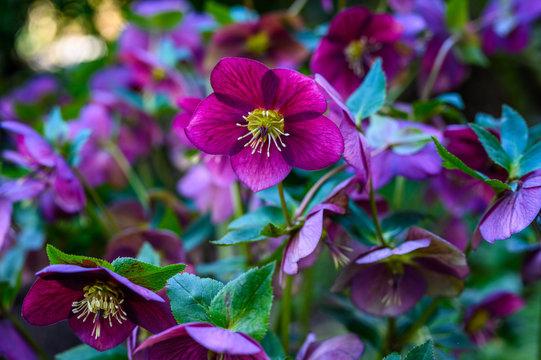 Maroon hellebore, lenten rose, blooming in a woodland garden