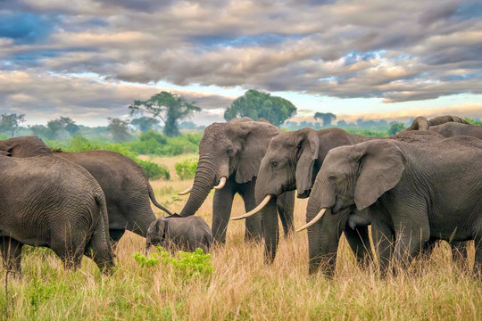 A herd of female African elephants (Loxodonta africana) protects a young calf as they walk through the beautiful landscape of Queen Elizabeth National Park, Uganda.