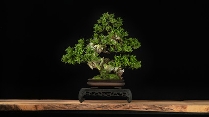 Photo sur Aluminium Bonsai Japanese bonsai tree style used for decoration. Bonsai is used to decorate the shop. Japanese bonsai tree on a black back wooden floor.