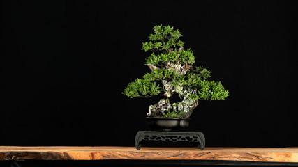 Printed kitchen splashbacks Bonsai Japanese bonsai tree style used for decoration. Bonsai is used to decorate the shop. Japanese bonsai tree on a black back wooden floor.