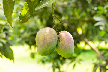 Two green mangoes hanging on tree in a mango garden
