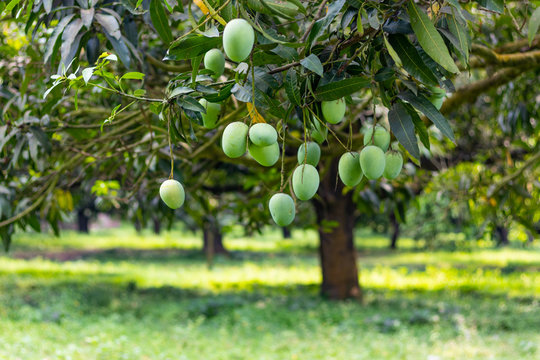 Lots of green mangoes hanging on tree