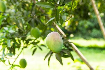 A green mango hanging on tree in mango garden