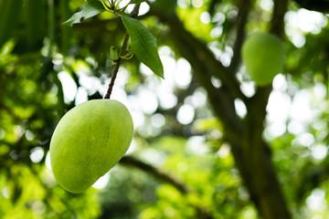 Lots of green mangoes hanging on tree in mango garden