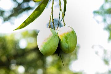 Two green mangoes hanging on tree in mango garden