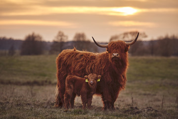 Foto op Aluminium Koe Scottish Highland Cows And Calf