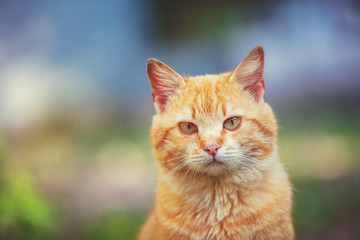 Portrait of a red cat outdoors. Funny ginger kitten walking in the yard in summer on a sunny day