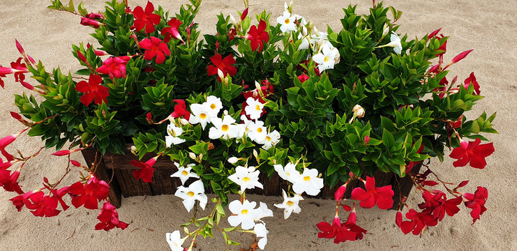 Red and white Mandevilla flowers in a wooden pot on a sand background. Panorama.