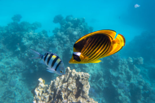 Raccoon Butterflyfish And Scissortail Sergeant Fish. Colorful Beauty Stripped Saltwater Fish In The Sea Near Coral Reef, Red Sea, Egypt. Indo-Pacific Tropical Fish In The Ocean.