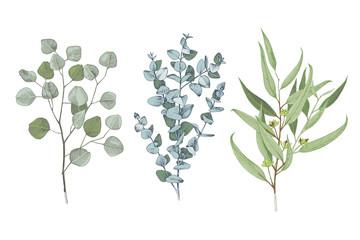 Fototapeta 3 types of eucalyptus obraz