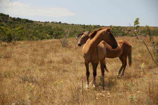 A herd of orange horses on a field in summer. Crimean peninsula.