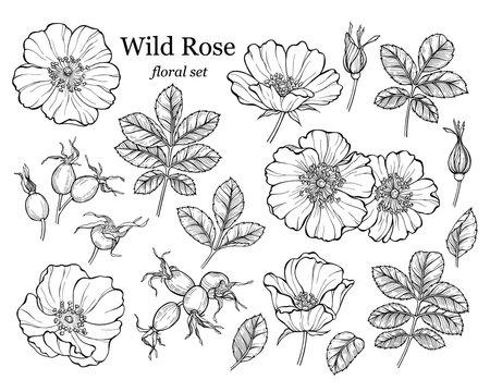 Wild rose flower set, line art drawing. Outline floral design elements isolated on white background, vector illustration