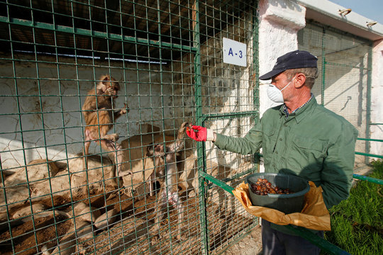 Jamal Yusuf Ali, a zoo keeper who volunteered to stay with animals, wearing a protective face mask, feeds a monkey, during a curfew which was imposed to prevent the spread of the coronavirus disease (COVID-19), in Erbil