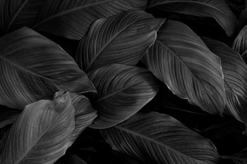Wall Mural - leaves of Spathiphyllum cannifolium, abstract monochrome texture, nature background, tropical leaf