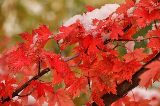 Sugar maple tree branch with fresh snow