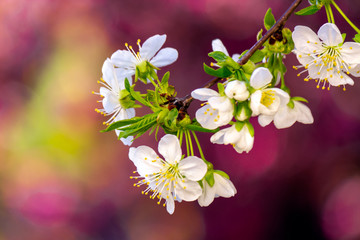 tiny white apple flowers on a sunny day. beautiful nature scenery on a pink blossom background in spring