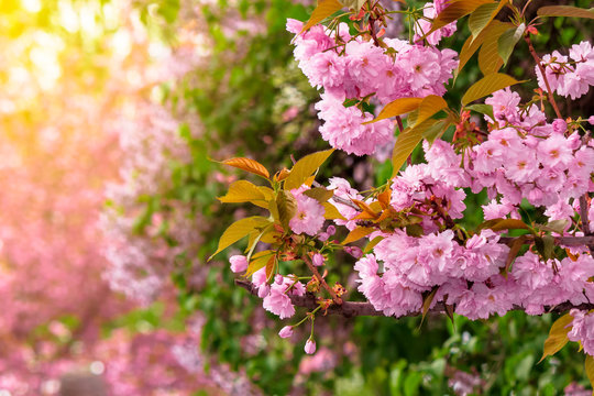 pink cherry blossom background. beautiful nature scenery with delicate flowers of sakura in springtime