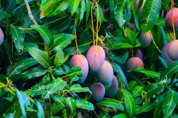 Deurstickers Canarische Eilanden Eco farming on La Palma island, plantations with organic mango trees with sweet ripe mango fruits ready for harvest, Canary islands, Spain