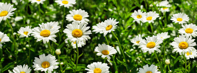 blooming daisy flowers in a field