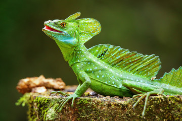 Male plumed basilisk (Basiliscus plumifrons) sitting on a stump Wall mural
