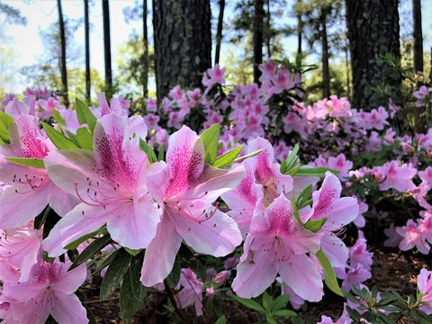 Beautiful Pink Azalea flower blooming in the garden, Spring GA USA.