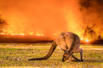 Papiers peints Kangaroo Kangaroo Island, Australia, South Australia- 2019: Kangaroo in the Australian bush during the bushfire.