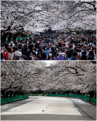 Combination picture shows blooming cherry blossom at Ueno park in Tokyo