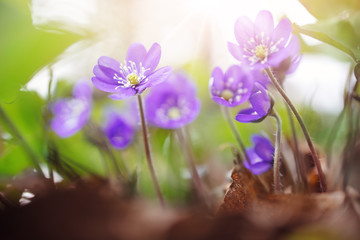 Wall Mural - anemone hepatica flowers in the spring forest