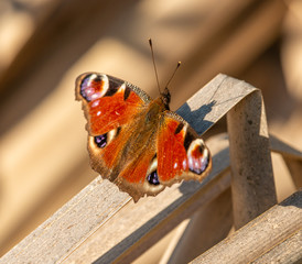 Photo sur Toile Paon peacock butterfly (Aglais io) sitting opened on dry reed leaf