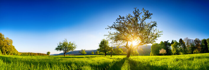 Tuinposter Ochtendgloren The sun shining through a tree on a green meadow, a panoramic vibrant rural landscape with clear blue sky before sunset